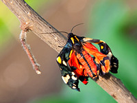 A Newly Emerging Jersey Tiger Moth