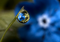 Dewdrop II (with Borage)